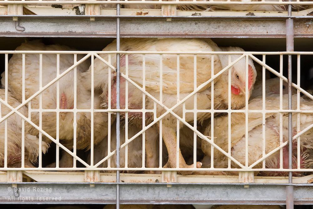 Het vervoer van kippen vandaag de dag doet me sterk denken aan de gruwelijkheden uit de 2e wereldoorlog... Toch laten we het allemaal toe.
