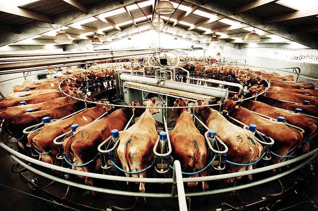 Voor vrijwel alle melkkoeien ziet hun dag er zo uit...